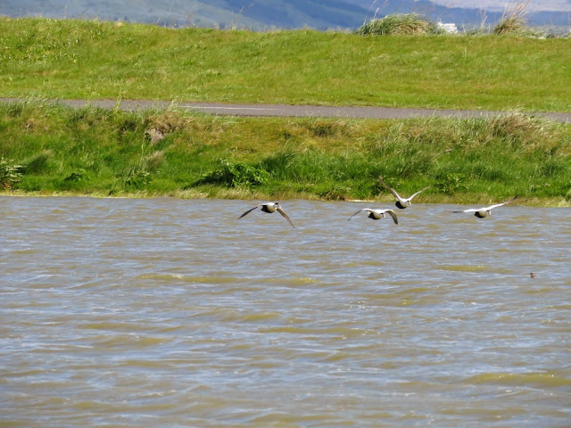 Eider ducks taking flight over Bakkatjörn Nature Reserve in Reykjavik Iceland