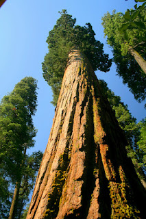 World Tallest Tree