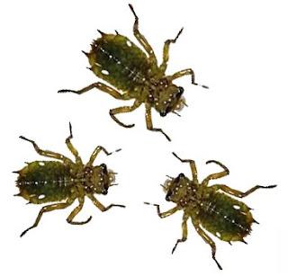 Larva capung