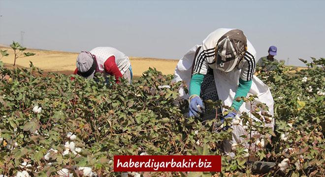 Diyarbakır'da pamuk işçilerinin zorlu mesaisi başladı