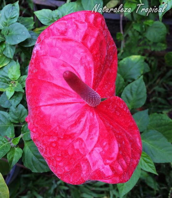 Más populares que los Anturios hay pocas plantas. Son ideales para interiores. Anthurium andraenum