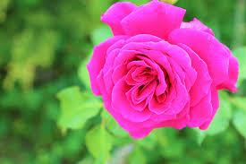 pink-rose-image