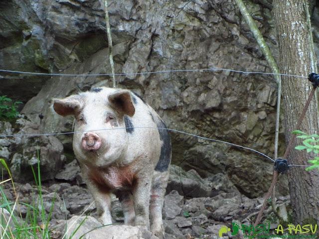 Cerdo en la ruta del Bosque de Cea