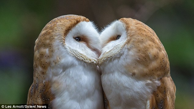 White Wolf : Adorable Barn Owls Were Spotted Sharing A ...