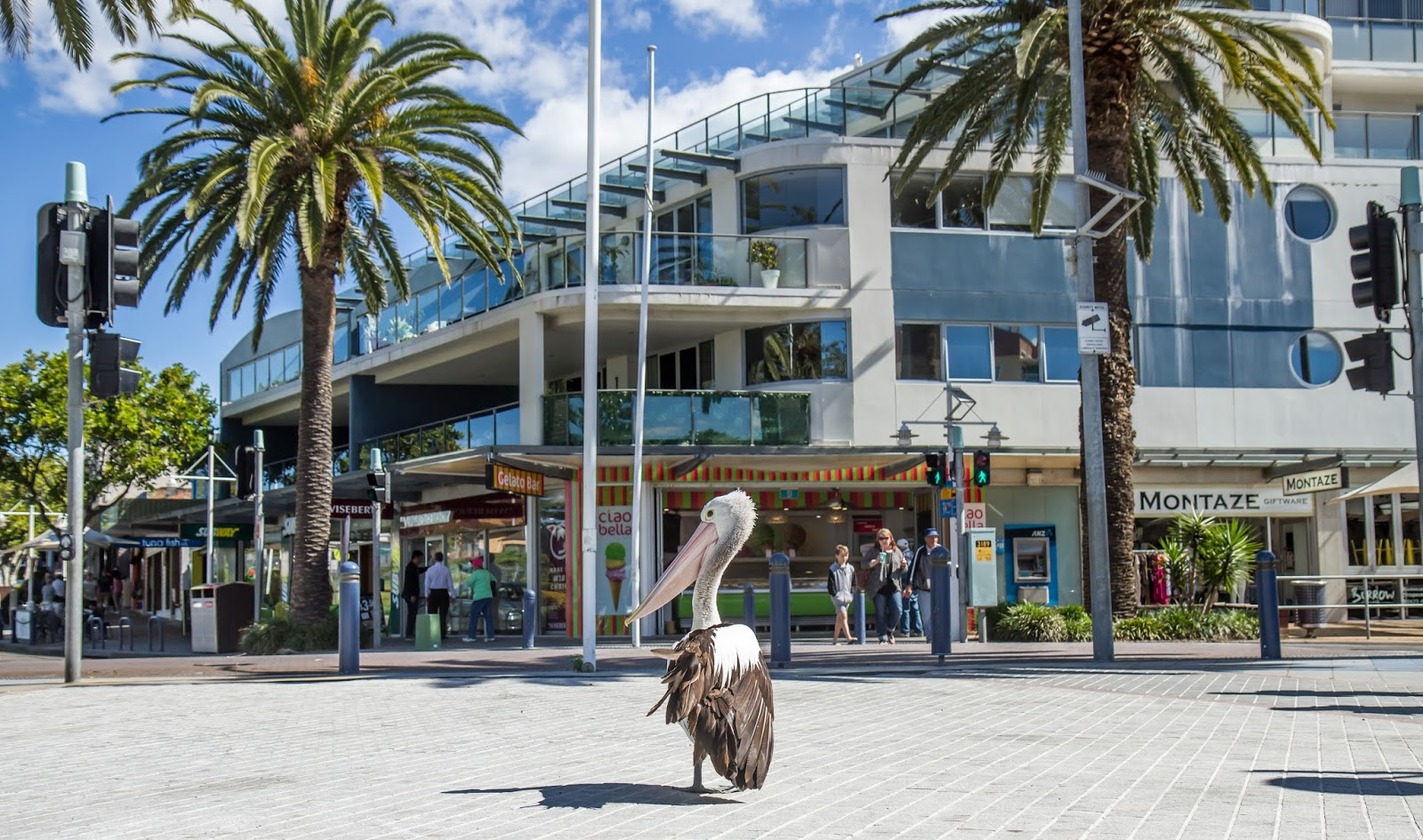 Pelican at The Entrance, Australia