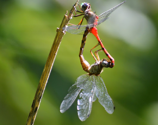 Mating Meadowhawks