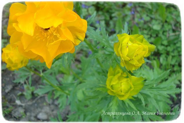zagadki-pro-vesennie-cvety-dlya-detej-i-vzroslyh-magiya-biologii-жарки-купальница