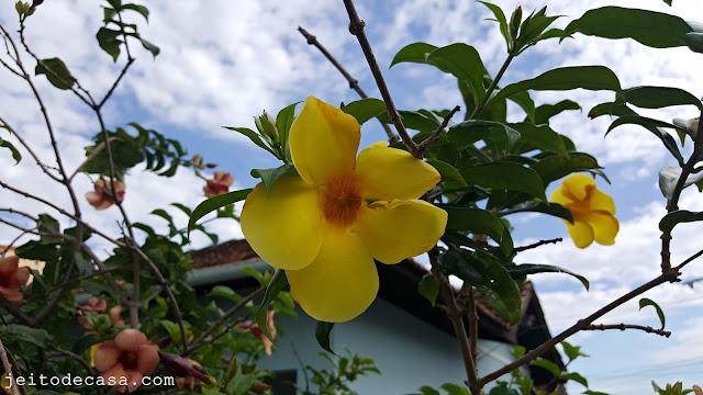 flor -alamanda-amarela