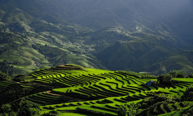 Rice is grown on terraces in Sapa