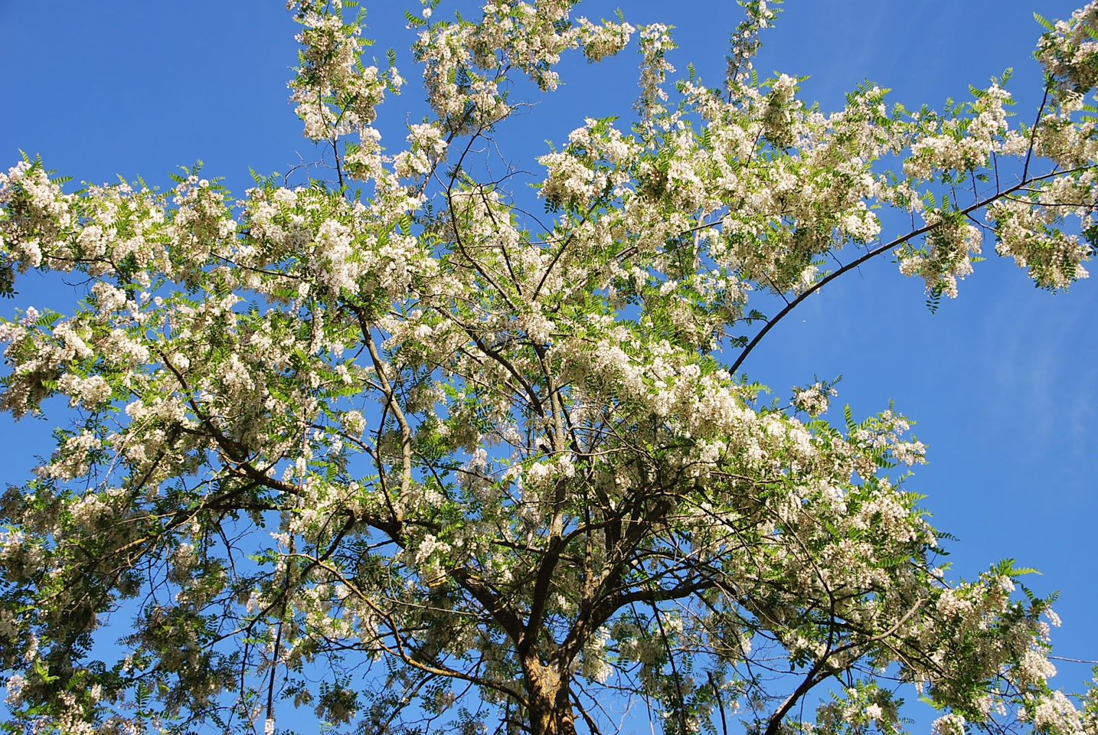 Fotos de flores rboles y flores de las acacias - Arbol de rosas ...