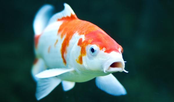 Ikan Koi - Cara Budidaya Ikan