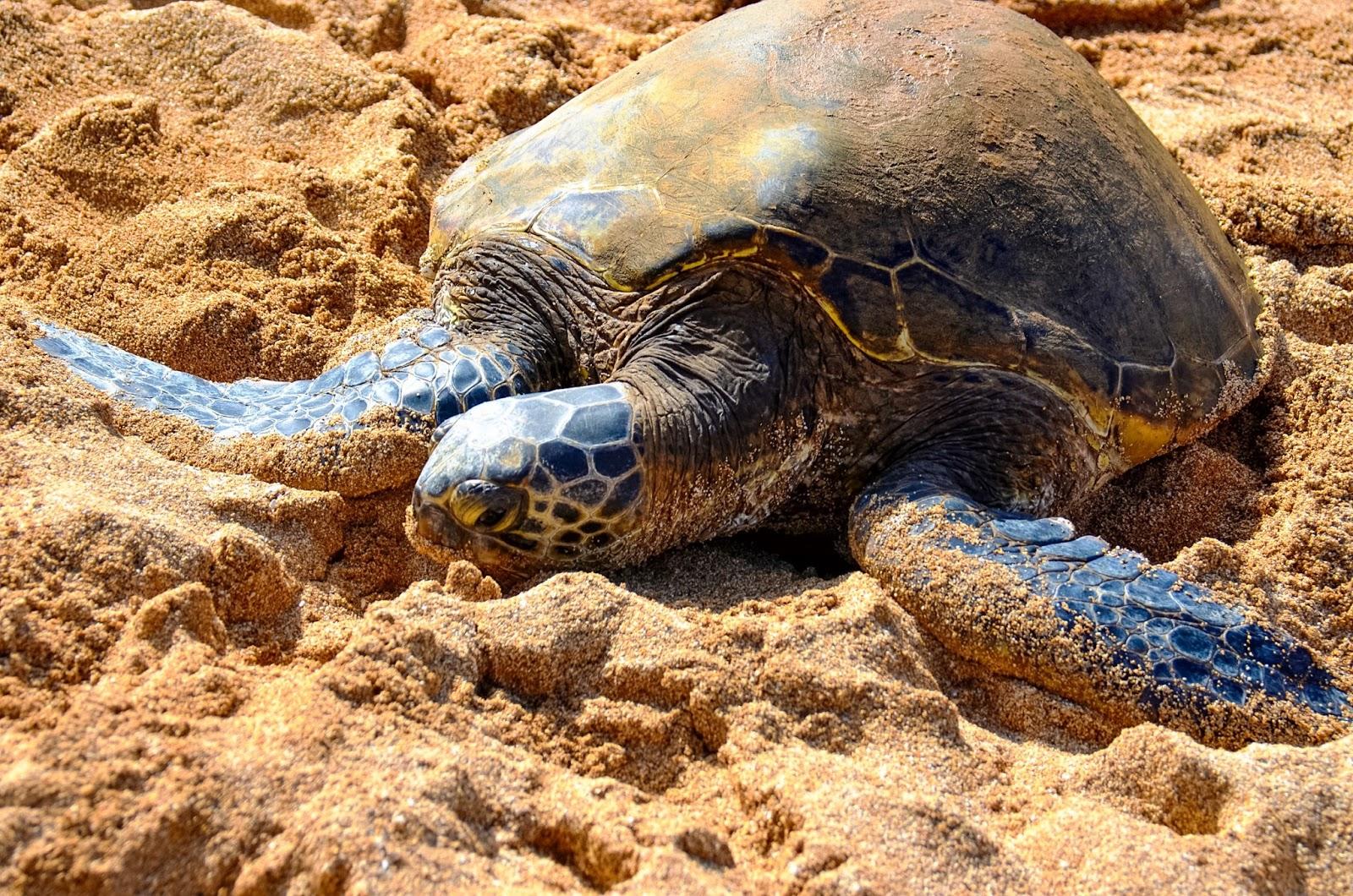 turtles at turtle bay