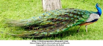 Foto del pavo real caminando en el Parque de las Leyendas por Jesus Gómez