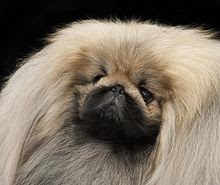 Pekingese dog in serious mood