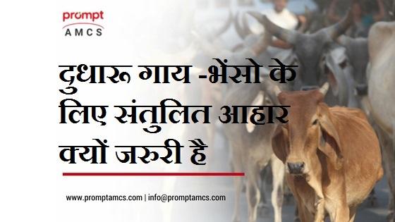 दुधारू गाय -भेंसो के लिए संतुलित आहार क्यों जरुरी है
