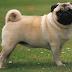 Pug là giống chó thuộc nhóm Toy Dog