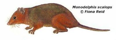 Monodelphis scalops