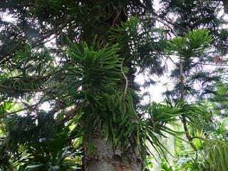 Araucaria de Cunningham - Pin de Hoop - Araucaria cunninghamii -