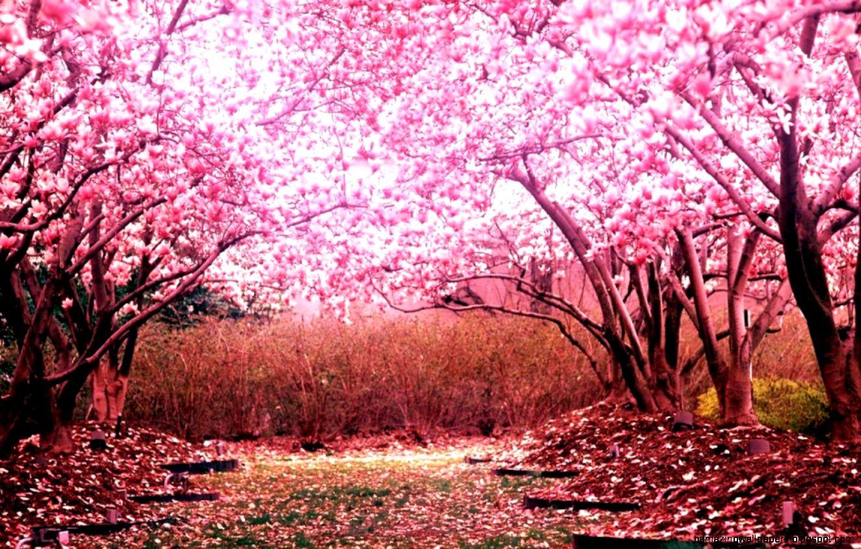 17 Wallpaper Anime Cherry Blossom Background Anime Wallpaper