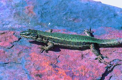 threatened rock lizard