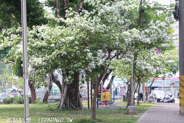 台中大里|2018積善公園四月雪流蘇盛開,樹葉就像被白雪覆蓋