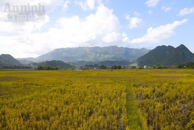 Vẻ đẹp Mai Châu mùa lúa gặt 1