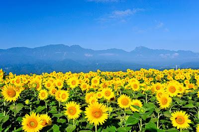 Hoa hướng dương đẹp nhất thế giới 11
