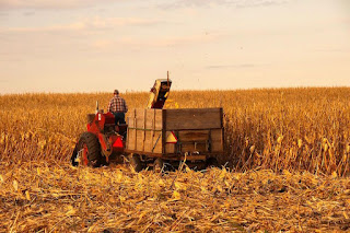 A farmer using a corn picker and trailer