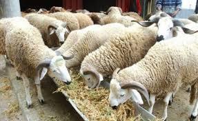"""""""الشناقة"""" يحكمون قبضتهم على سوق الأغنام ببرشيد و يرفعون الأسعار"""