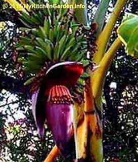 Banana Flower Male Part