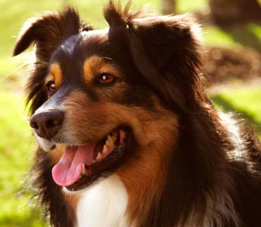 Bacterial Infections in Dogs