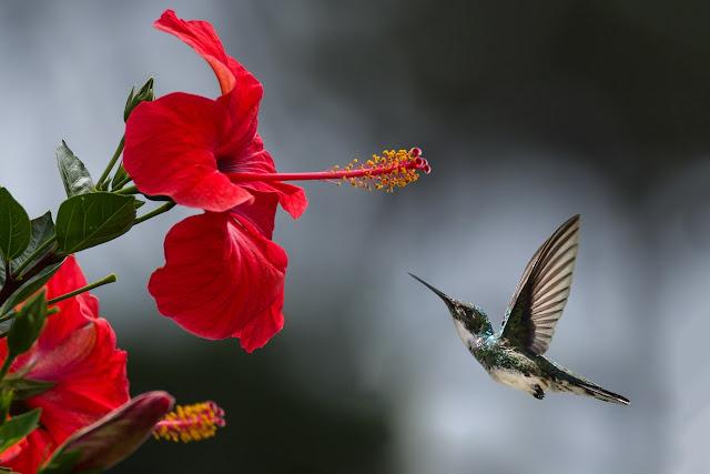 caibri dan bunga kembang sepatu