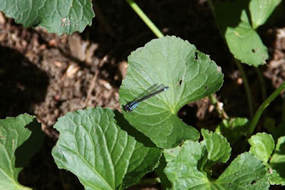 late Summer damselfly