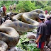 بالفيديو: العثور على أضخم ثعبان في التاريخ بغابات الأمازون