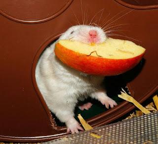 Cara Menjinakan Hamster Yang Galak Agar Tidak Menggigit