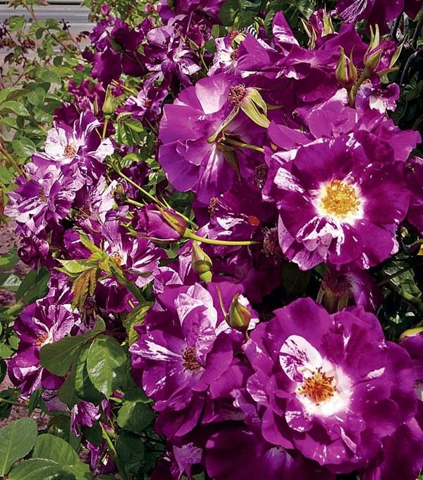 Purple Splash сорт розы фото купить саженцы Минск