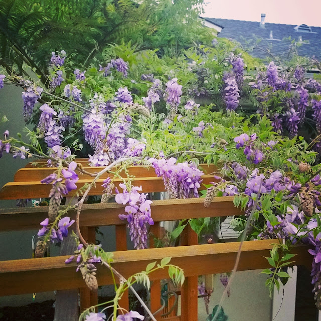 wisteria on arbor