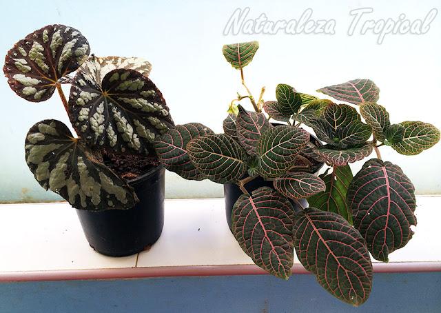 Fittonia y Begonia en macetas plásticas