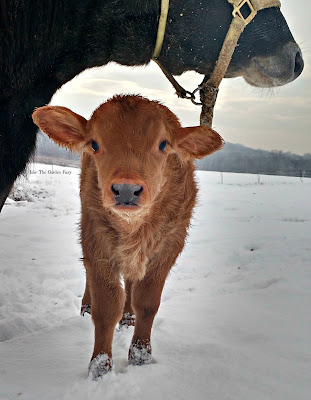 Winter on the Farm in Connecticut, shared by Julie the Garden Fairy