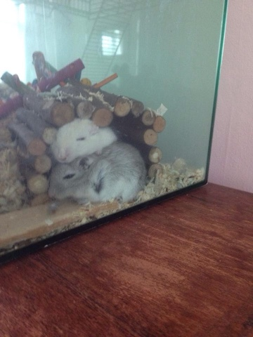 Sparkle and Storm the Gerbils