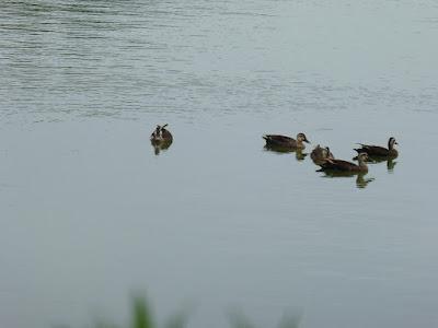花博記念公園鶴見緑地 大池のカルガモ