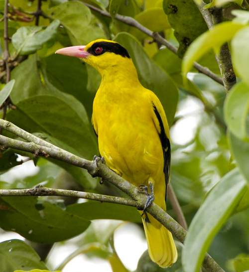 Indian birds - Photo of Black-naped oriole - Oriolus chinensis