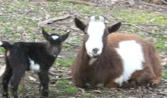 baby goats, birth of a baby goat, pygmy fainting goats, spring on the homestead,