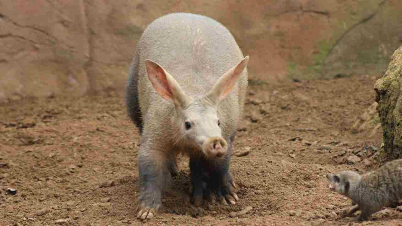 gambar aardvark
