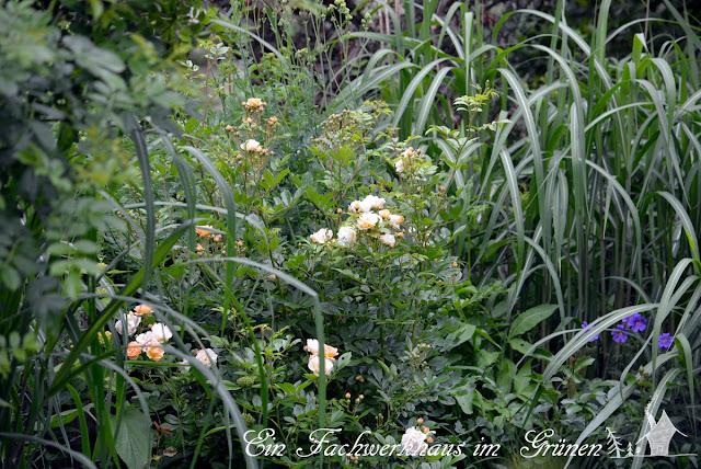 Gartenglück, Rose, Ghislaine de Féligonde