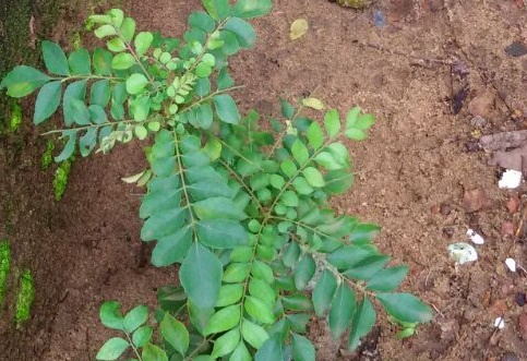 Why Curry Leaves (Kadi Patta) Are Good For Hair Growth
