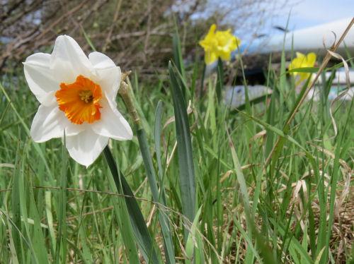 Duke of Windsor daffodil