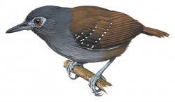 Short-tailed Antbird
