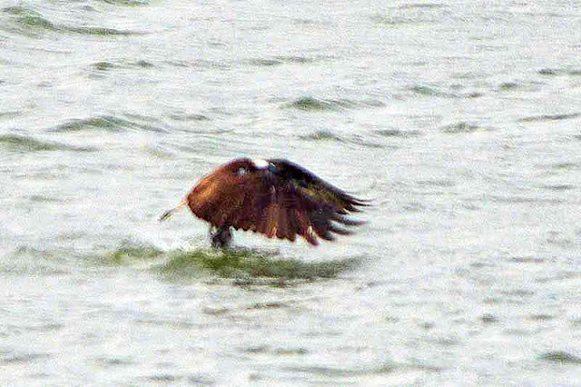 bird, osprey, leaving fresh water, wings forward