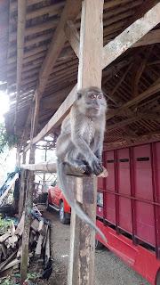 monyet mamalia yang cerdas